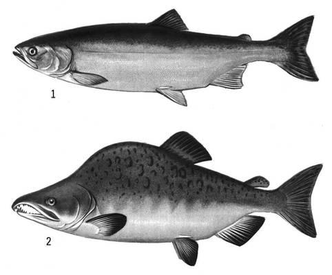 Как выглядит горбуша рыба